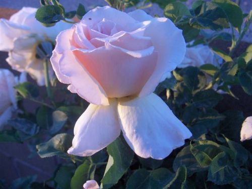 mwb-rose-21