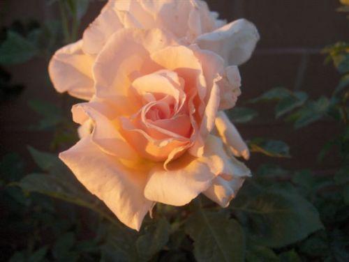 mwb-rose1